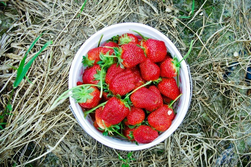 bucket of north carolina strawberries